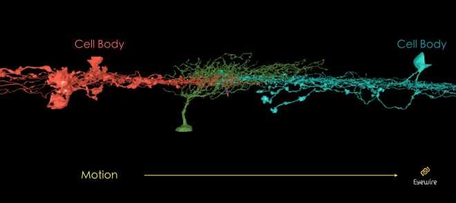 Figure 8: Starbursts (red, yellow) make synapses with a ganglion neuron (green). Can you tell which starburst will activate the ganglion?