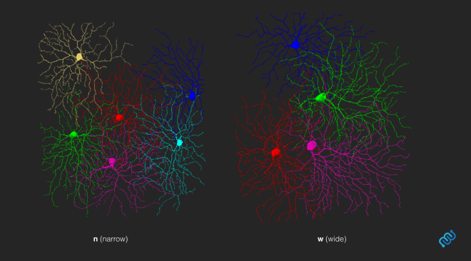 wide narrow field neurons eyewire, wide field, ganglion, retina, connectomics, neuroscience, neurons