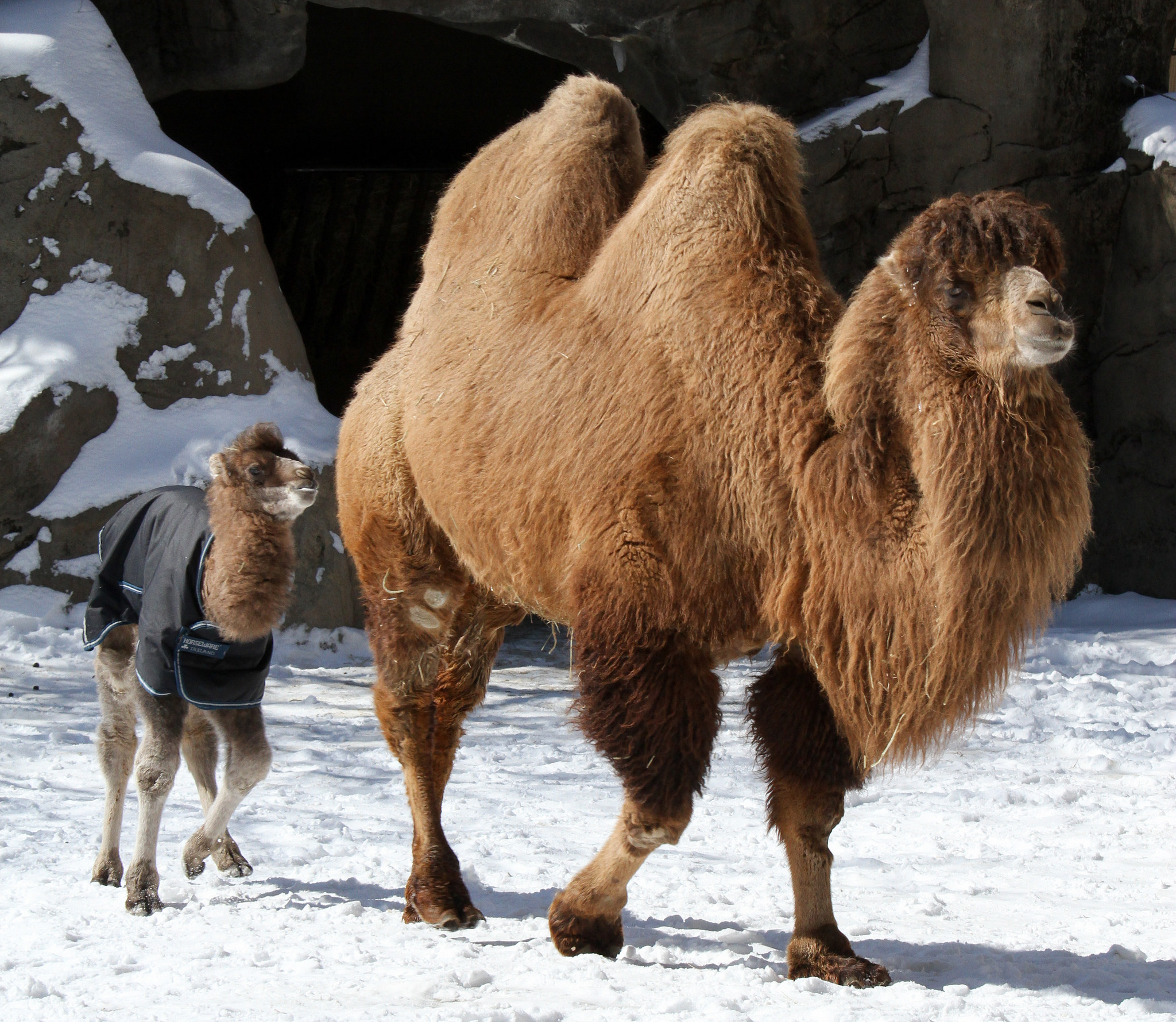 a look at two humped bactrian camel of central asia Dromedary, or arabian, camels have one hump and live in the middle east and northern africa, while bactrian camels have two humps and live in central asia arabian camels are domestic animals there are two separate types of bactrian camels: wild and domestic as of 2014, there are less than 1,000 .