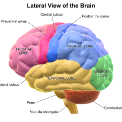 Human Brain Diagram Cerebrum 2001 Mazda Mpv Engine Lob Some Lobes In The Ultimate Battle