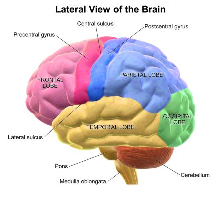 Blausen_0101_Brain_LateralView