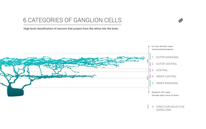 ganglion, cell, neuron, retina, retinal, classification, eyewire, Eyewirers, citizen science, neuroscience, Amy Sterling, IPL, GCL, ganglion cell layer, bistratified, connectomics