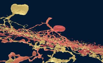 neurons, ganglion, starburst, amacrine, retina, synapse, brain, neuroscience