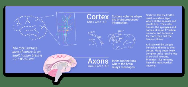 grey matter, gray matter, axons, cortex, white matter, cortical neurons, cortical layers, cortex layers, though, thinking, consciousness, perception