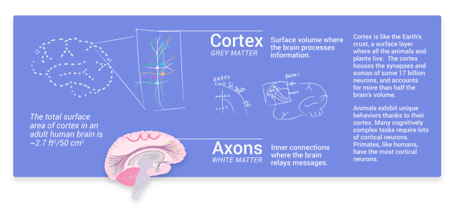 grey matter, gray matter, axons, cortex, white matter, cortical neurons, cortical layers, cortex layers, though, thinking, consciousness, perception
