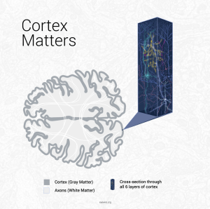 gray matter, white matter, cortex, axons, chandelier cell, diagram, infographic, brain, neuroscience, cortex, cerebral cortex, microns, iarpa, MRI, schematic, Amy Sterling