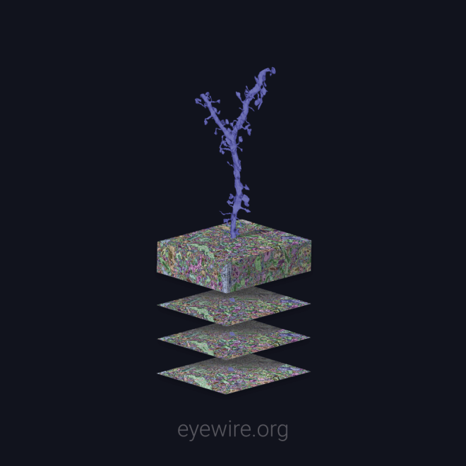 2d, 3d, reconstruction, connectome, neo, neuroscience, new game, new cells, neuroscience, eyewire, electron microscope, connectomics,