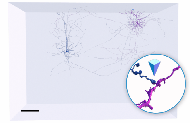 Pyr volume with two cells connected by a synapse, Amy Sterling, Pyr, citizen science, microns explorer, connectome