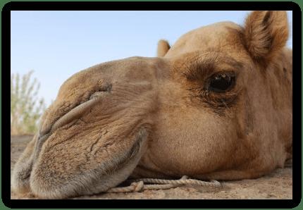 Photo chameau