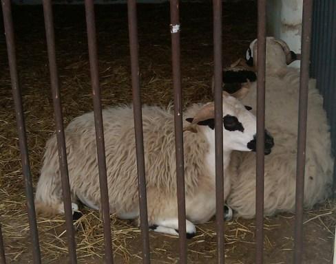 Casa Chico Ze-06-Cuddling-Sheep