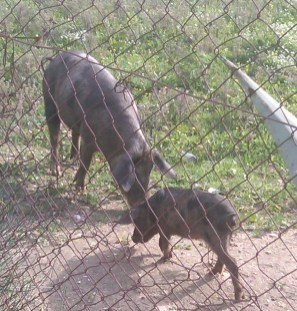 Casa Chico Ze-07-Pigs-at-farm-by-A-Barrigada