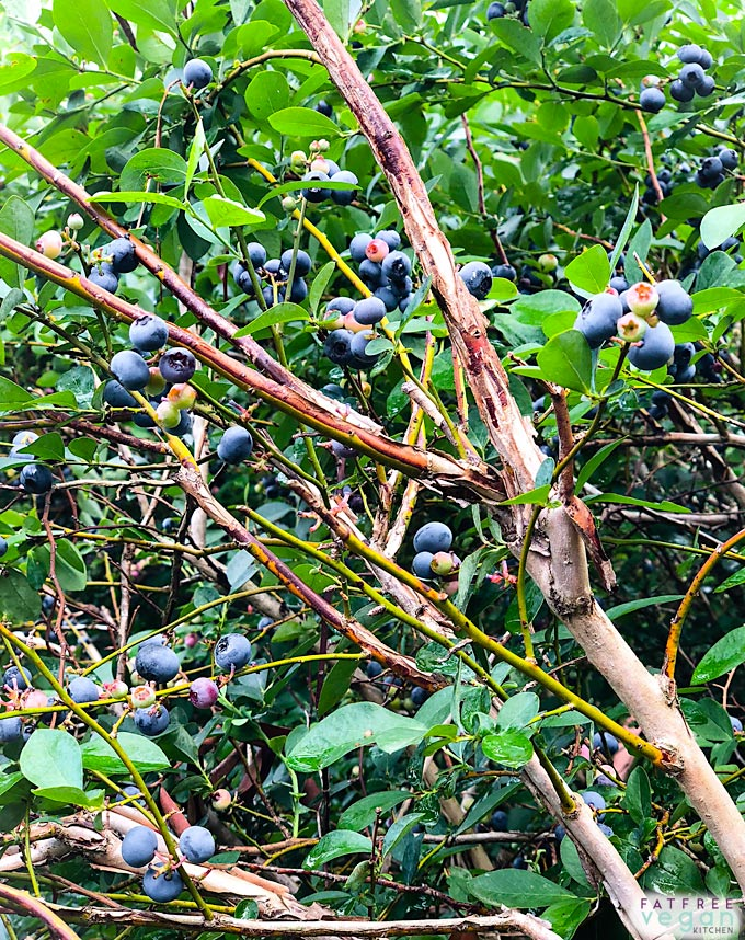 Mississippi Blueberries
