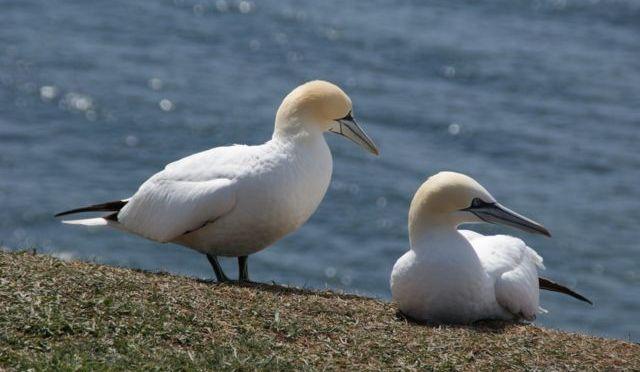 Basstoelpel, Helgoland