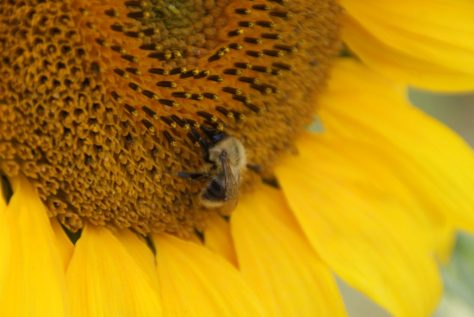 Sonnenblume Blume