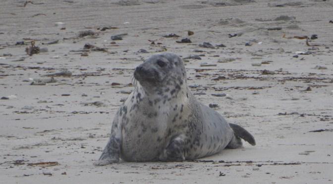 Helgoland und die Robben