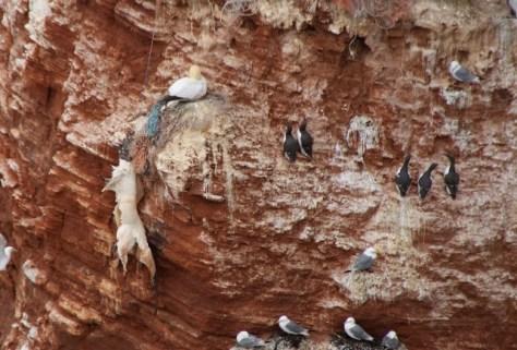 Baßtölpel am Plastik erhängt am Lummenfelsen auf Helgoland Ozeane
