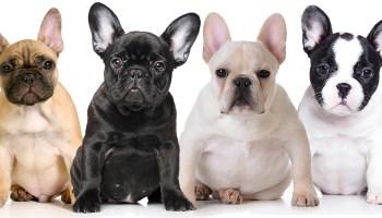 Saiba Tudo sobre a raça Bulldog Francês   Blog Finofaro