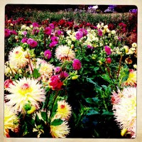 Amazing Dahlias at Connells