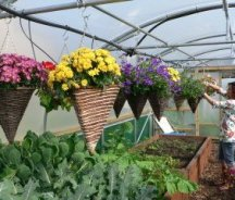 Hanging Baskets on Crop Bars in a Polytunnel