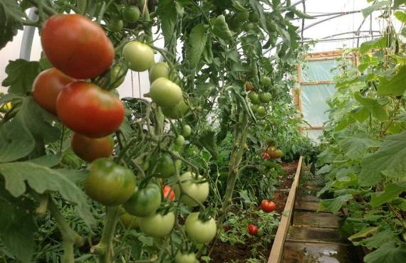 Tomatoes are not turning red
