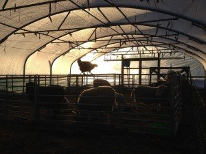 Polytunnels for sheep