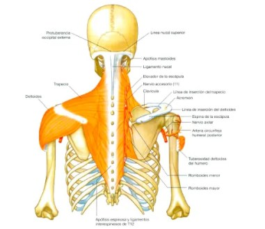 musculatura superficial-hombro