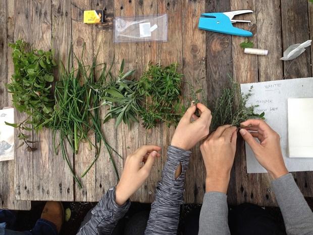 Separating herbs to make tea infusions at Orti Dipinti.