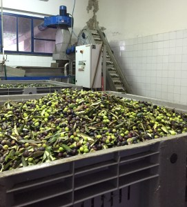 The olives before they are processed into olive oil