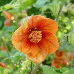 ABUTILON PICTUM 'THOMPSONII'