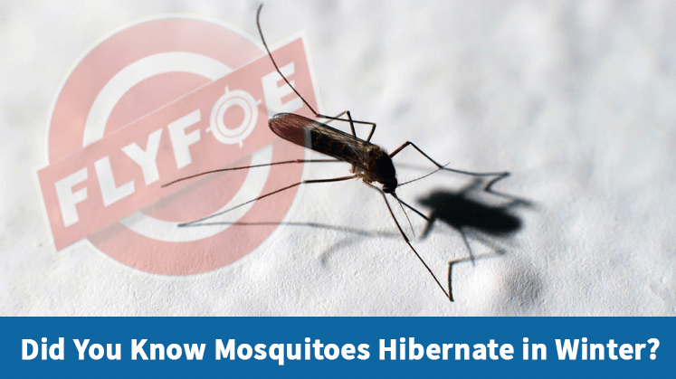 Did You Know Mosquitoes Hibernate in Winter?