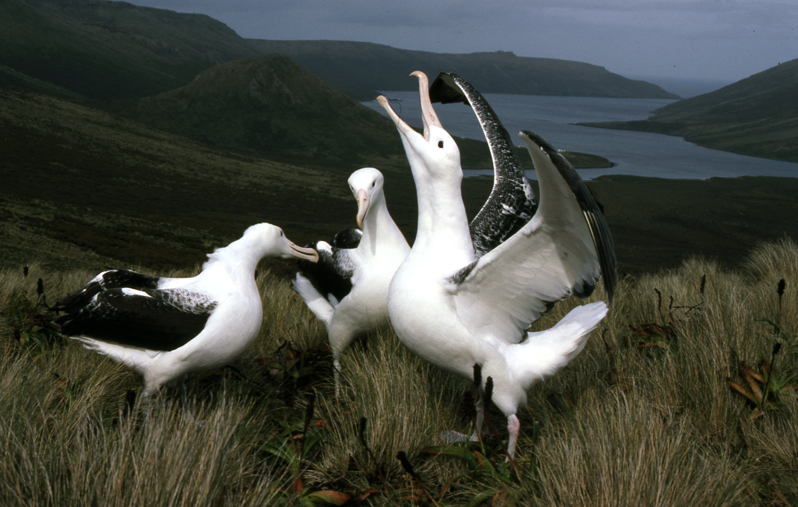 https://i0.wp.com/blog.forestandbird.org.nz/wp-content/uploads/Royal-albatrosses-displaying-photo-Peter-Moore.jpg