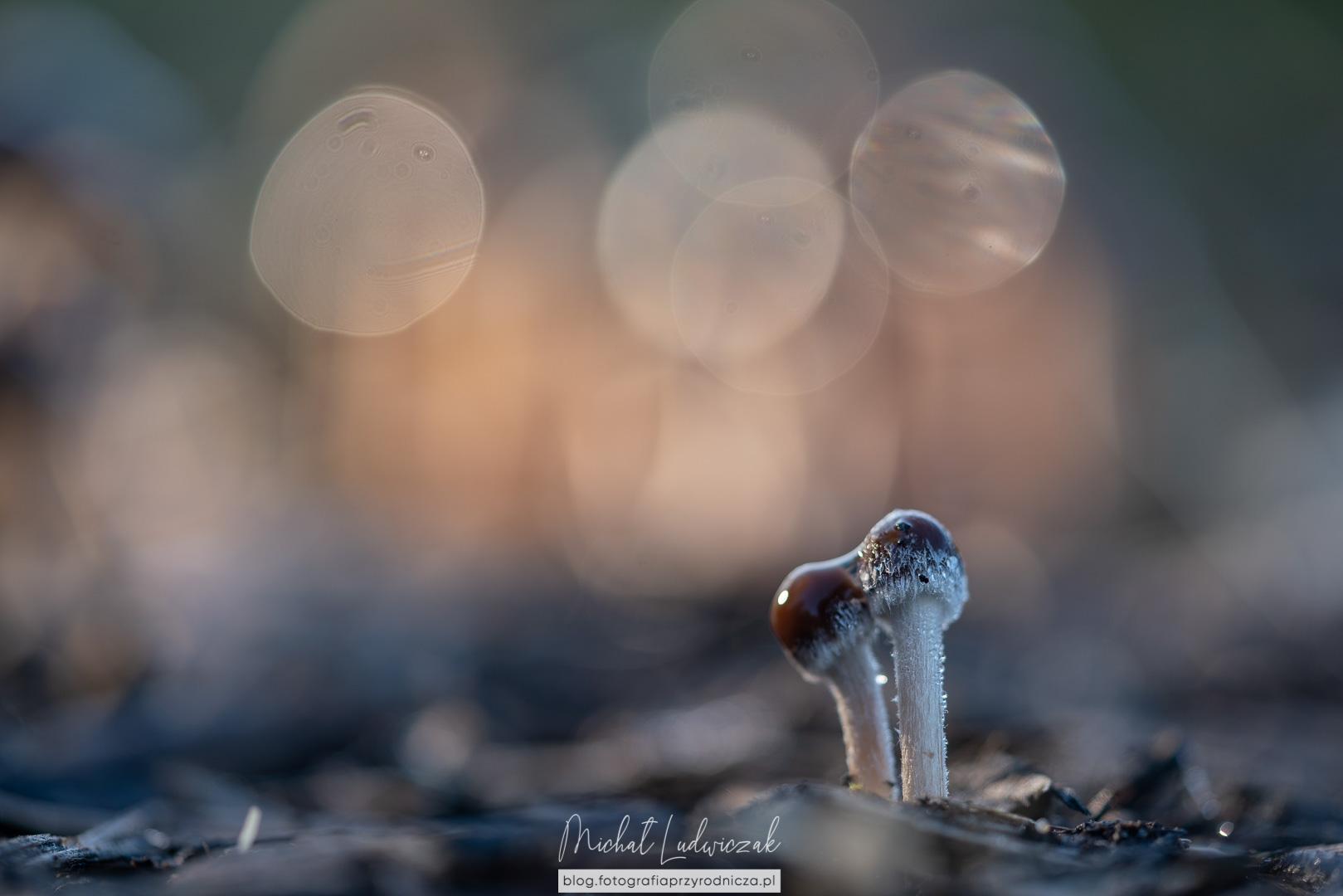 Grzybówka (mycena)