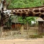 giraffe_sjpg9083