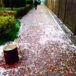 桜も終わりか・・