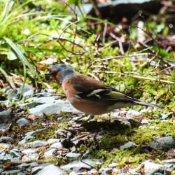 Un mâle chaffinch, ou pinseau des arbres, espèce non endémique
