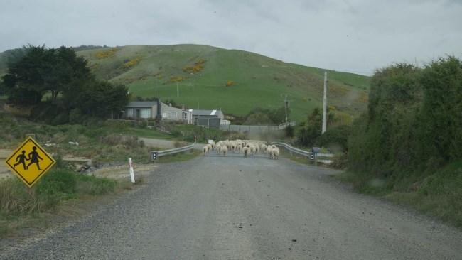 Moutons en Nouvelle-Zélande