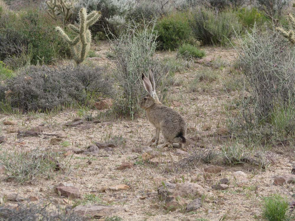 The Easter Bunny visits Mojave NP