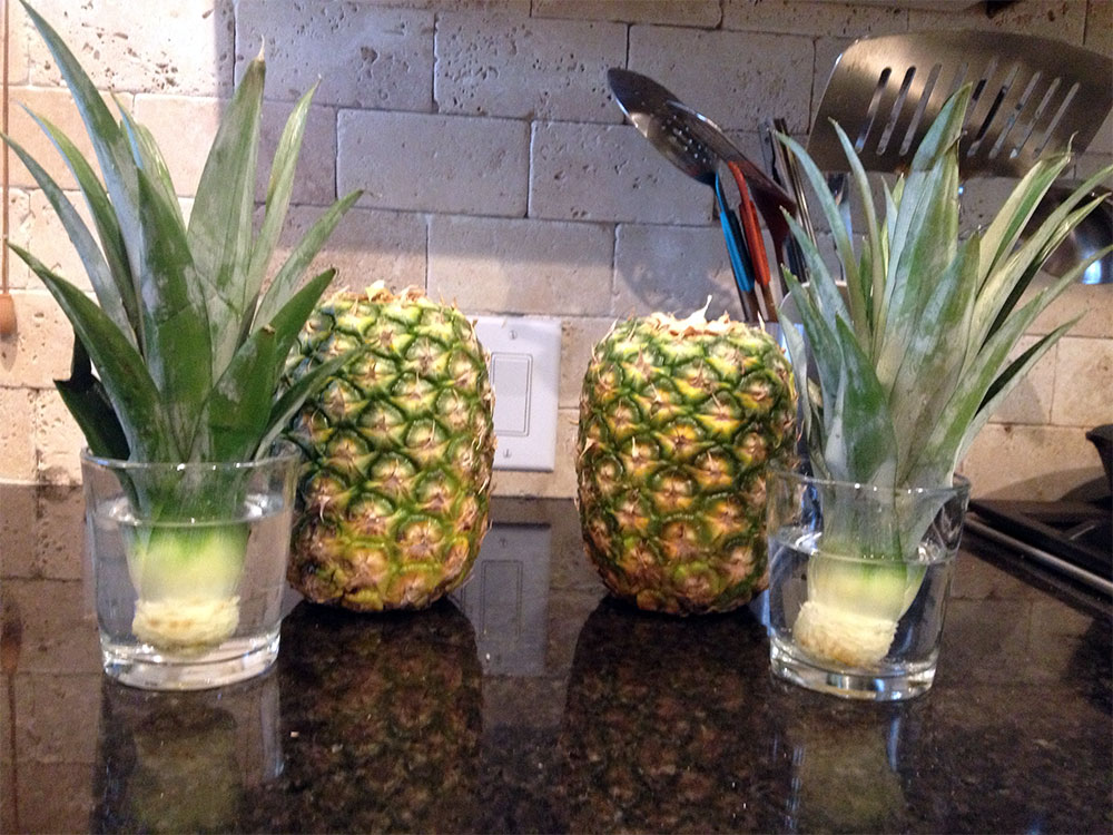 how to grow your own pineapple at home. Black Bedroom Furniture Sets. Home Design Ideas