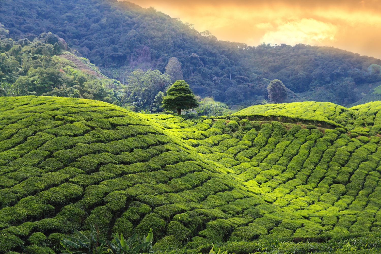 india darjeeling tea fields