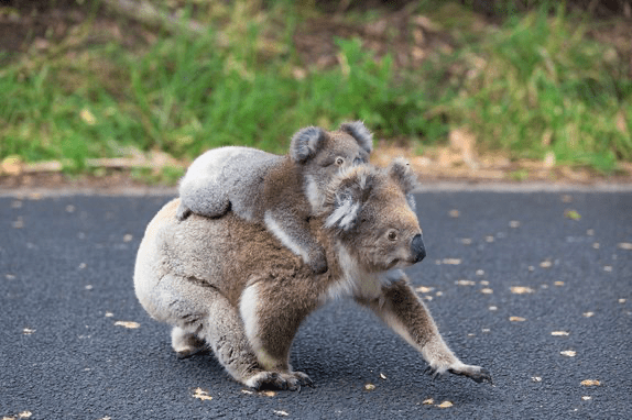 A baby koala catches a ride on an adult koala's back as the adult is walking across pavement.