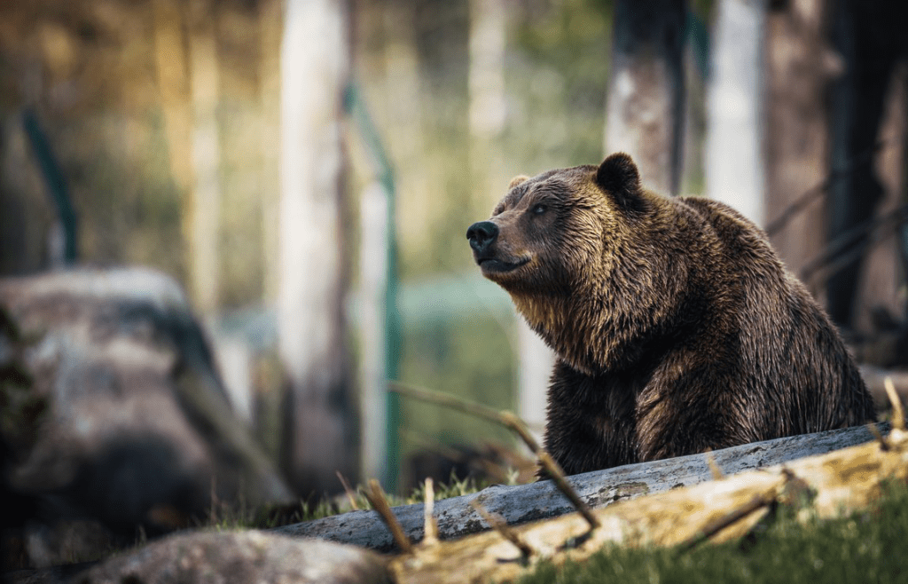 a close up image of a grizzly bear