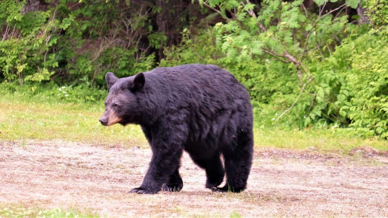 A brown bear prowls across a field.