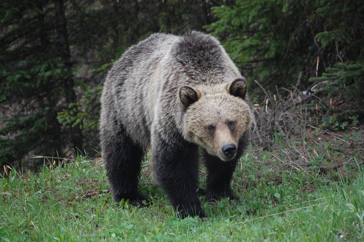 A grizzly stares at the camera. It's defined by it's rounded ears, dish-shaped snout, and hump between its front shoulders.