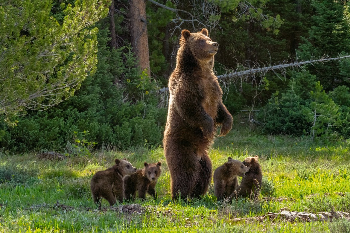 Grizzly Bear 399 stands up on her hind legs with her four cubs circled around her.