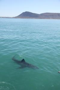 great-white-sharks-MarineDynamics