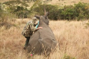 Wildlife conservationist treating rhino