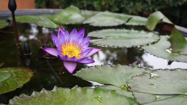 Cultivar flor de loto