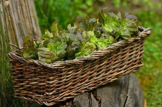 Cultivar lechuga