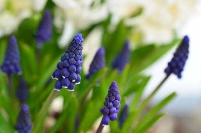 Muscari planta color perfume