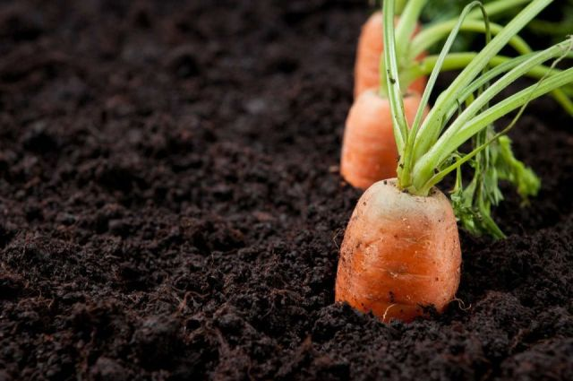 Zanahoria sembrarse